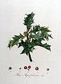 Ilex aquifolium — Flora Batava — Volume v8.jpg