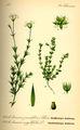 Illustration Arenaria serpyllifolia0.jpg