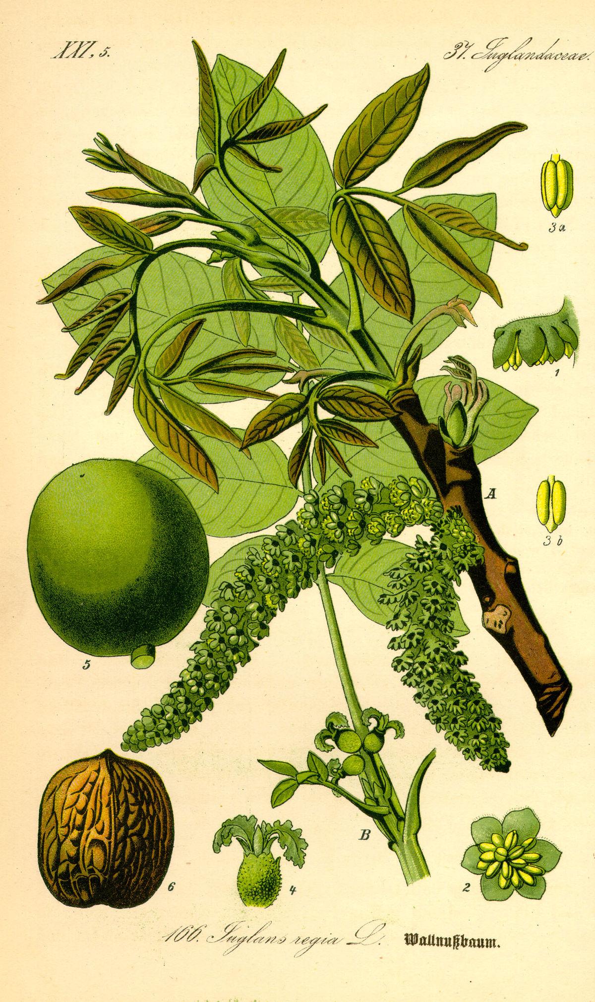 Echte Walnuss (Juglans regia). Illustration: A) Zweig mit männlichen Blütenständen, B) Zweig mit weiblichen Einzelblüten, 1 und 2) männliche Blüte, 4) weibliche Blüte 5) ganze Frucht, 6) Nuss