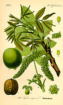 Illustration Juglans regia0