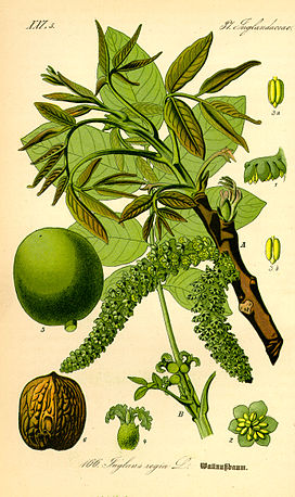 Illustration Juglans regia0.jpg