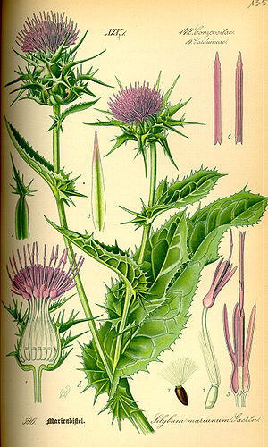Silybum marianum - Illustration
