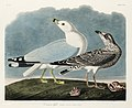 Illustration from Birds of America (1827) by John James Audubon, digitally enhanced by rawpixel-com 212.jpg