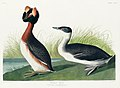 Illustration from Birds of America (1827) by John James Audubon, digitally enhanced by rawpixel-com 260.jpg