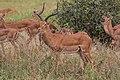Impala - Tarangire National Park - Tanzania-5 (34980941171).jpg