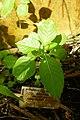 Impatiens mackeyana subsp. claeri-Jardin botanique Meise (1).jpg