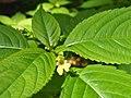 Impatiens parviflora Niecierpek drobnokwiatowy 2020-07-02 03.jpg