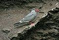 Inca Tern (Larosterna inca) (4856924900).jpg