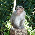 Indischer Hutaffe (Macaca radiata).JPG