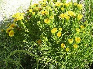 Golden samphire - Image: Inula crithmoides