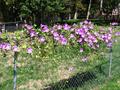 Ipomoea tricolor-WeddingBells 20071011 01.png