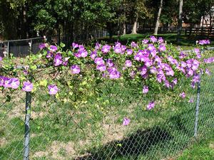 Ipomoea tricolor - Image: Ipomoea tricolor Wedding Bells 20071011 01