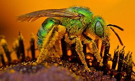 Iridescent.green.sweat.bee1.jpg