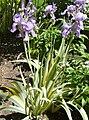 Iris pallida 'Variegata'.jpg