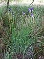 Iris sibirica sl26.jpg