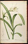 Ismene narcissiflora (as Pancratium calathiforme) 6.353