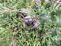 Isodontia mexicana 03.jpg