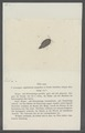 Itea nana - - Print - Iconographia Zoologica - Special Collections University of Amsterdam - UBAINV0274 098 08 0018.tif