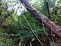 JNU Tilted Tree.jpg