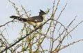 Jacobin Cuckoo (Clamator jacobinus) (16663503112).jpg