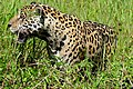 Jaguar (Panthera onca) male on the river bank ... (29066833392).jpg
