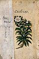 Japanese Herbal, 17th century Wellcome L0030056.jpg