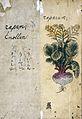 Japanese Herbal, 17th century Wellcome L0030109.jpg