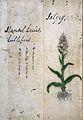 Japanese Herbal, 17th century Wellcome L0030114.jpg