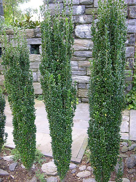 File:Japanese Holly Ilex crenata 'Sky Pencil' Plants 2448px.jpg