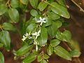 Jasminum didymum flowers.jpg