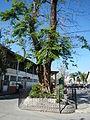 Jf9156Pterocarpus indicus Floridablanca Pampangafvf 08.JPG