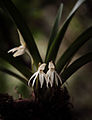 Jumellea triquetra (Thouars) Schltr..jpg