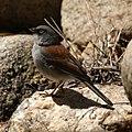 Junco phaeonotus Tucson AZ.jpg