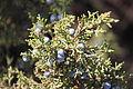 Juniper Berries (11519861655).jpg