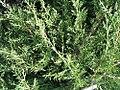 Juniperus chinensis Pfitzerana Aurea 0zz.jpg