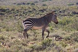 Un zèbre de montagne du Cap, dans le parc national du Karoo