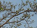 Karvat (Marathi- करवत) (2395196963).jpg