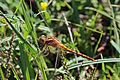 Keeled skimmer (Orthetrum coerulescens) female.jpg
