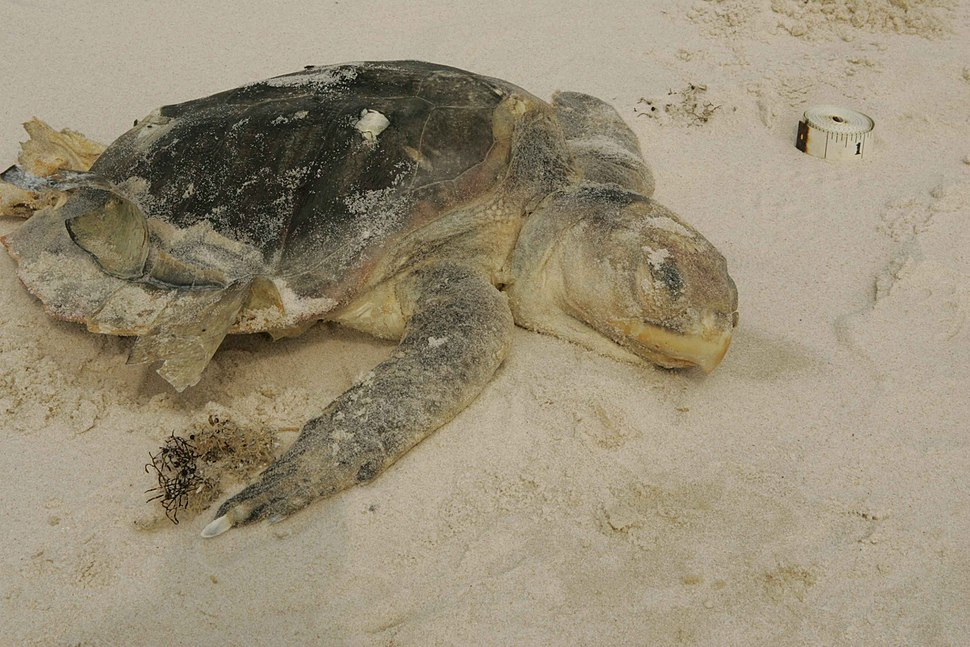 Kemp ridley sea turtle endangered species washes up on the beach