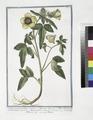 Ketmia vesicaria, vulgaris - Hipecoum - Alcea Solisequa, multis, Veneta - Alcea vesicaria - Hibiscus - Ketmie (NYPL b14444147-1124983).tiff