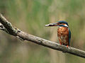 Kingfisher (Alcedo atthis) on a branch (3713529937).jpg
