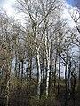 Kistárkány - erdörész - panoramio.jpg