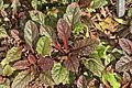 Kleine Braunelle (Prunella vulgaris) Neuaustrieb.jpg