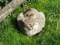 Kočka divoká zoohrada.jpg