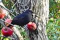 Koltrast Common Blackbird (22777161924).jpg