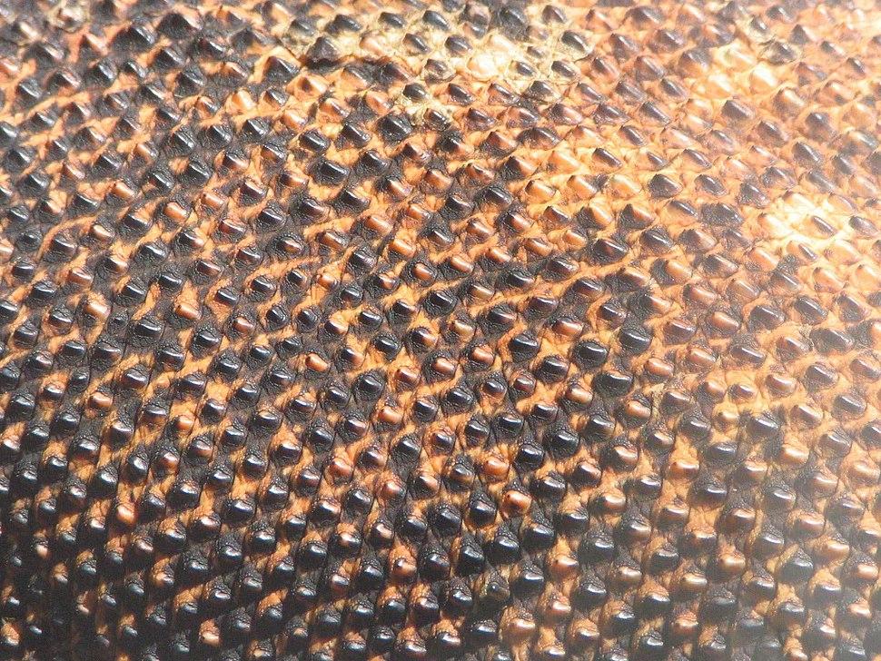Komodo dragon skin