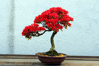 United States National Arboretum - Kurume Azalea bonsai in bloom (in training since 1982), US National Arboretum