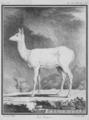 La daine - Fallow doe - Cervus dama - Gallica - ark 12148-btv1b2300253d-f30.png