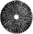 Labyrinthodon Mivart.png