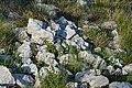 Lacerta viridis at Mali lag, Botevgrad 01.jpg